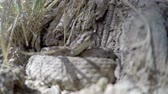 animais : Up close shot of a Great Basin Rattlesnake in Utah Stock Footage