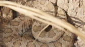 snake skin : Utah Great Basin Ratelslang opgerold door een boom