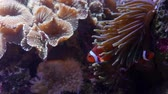 deniz yaşamı : Beautiful clown fish swimming in the reef