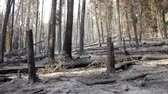 ash : Burned trees after a forest fire panning shot Stock Footage