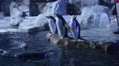 pinguine : Trainer reinigen Gentoo Pinguine im kalten Aquarium Videos