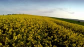 helicóptero : Flying above a meadow of rapeseed
