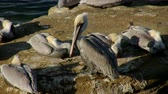 pelikán : Pacific Brown Pelicans Grooming (HD). Close up of pacific brown pelicans resting and grooming on a large rock. Dostupné videozáznamy
