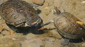 рептилия : Freshwater Turtles. Freshwater turtles swimming in a low river bank while gasping for air. Стоковые видеозаписи