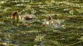 młoda : Ducklings On Algae Covered Lake (HD). Small Ducklings swimming in an algae covered lake surface.