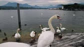 beauty in nature : Lake Luzern White Swans (HD). White swans at the ledge of a rock loading platform in Lake Luzern Switzerland.