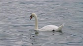 beauty in nature : White Swan Switzerland (HD). White swan from Lake Luzern Switzerland swimming and looking for food. Stock Footage