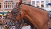 europa : Carriage Horse Close Up in Brugge (HD). Carriage horse close up in Brugge Belgium, shot at F2.8 and 50mm to blur the background. All people and signs are unrecognizable Stock Footage