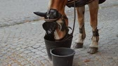 aveia : Working Horse Eating Oatmeal (HD). Horse eating oatmeal from bucket close up in Belgium.