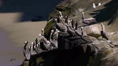 falésias : Brown Pelican Colony on Cliff (HD) Vídeos