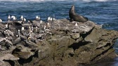 pelikán : Sealion and Pelicans on Rock (HD). Sea Lion and a colony of pacific brown pelicans grooming on a sea rock formation. California USA.