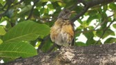 distante : Robin Bird Singing On Branch (HD). Roufous-backed Robin bird in central Mexico singing to attract a mate.