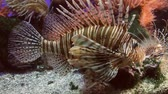 ploutve : Lionfish Full Body Shot (HD). Lionfish seen close up in a water tank. Dostupné videozáznamy