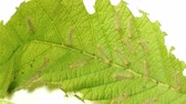 verme : Young Moth Caterpillars On Leaf Speed-Up Effective magnification 10x.