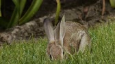 zając : Wild Bunny Rabbit Eating Grass
