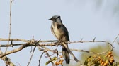 tollazat : Scrub Jay from California On Branch