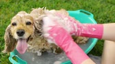 английский : Cleaning Dog Ears (HD). English cocker female dog having a shampoo bath with ears cleaned thoroughly sponge seen from a slightly raised angle.