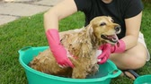 английский : Bathing Cocker Dog (HD). English cocker female dog having a shampoo bath with sponge.
