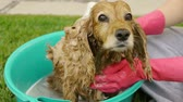 esponja : Dog Shivering while Bathing (HD). English cocker female dog having a shampoo bath with sponge and shivers near the end from cooled down body.