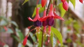 garden flowers : Fuchsia Flowers Camera Dolly In With Focus View.