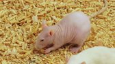 ropogós : Hairless Rat Eating (HD). Hairless pink rat eating and munching a piece of crunchy food. Ambient audio included.