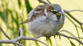 střední : House Sparrow Close Up (HD). The House Sparrow (Passer domesticus) seen close up on a branch.