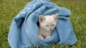 törülköző : Kitten Wrapped (HD). Small one month old Siamese Blue Point kitten wrapped in a blue soft towel on top of thick grass.