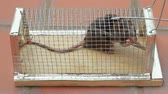 com medo : Rat Trapped in Cage at  Home Floor