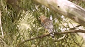 střední : Red Shouldered Hawk On Branch (HD). Red Shouldered Hawk in the wild seen perched on an Eucalyptus tree branch. Southern California marshlands.