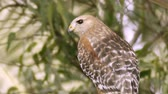 falcão : Red Shouldered Hawk Close Up (HD). Red Shouldered Hawk in the wild seen perched on an Eucalyptus tree branch close up. Southern California marshlands.