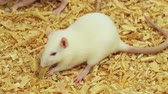 ropogós : White rat eating a crunchy long green snack food. Ambient audio included