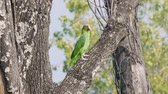 tollazat : Yellow Cheek Parrot Tree (HD) Wild yellow cheek parrot from the Amazon