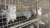 сарай : Guinea Pigs Caged Waiting for Feed. Стоковые видеозаписи