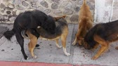 sexo : Street Dog Copulates while Other Dogs eat On the Sidewalk