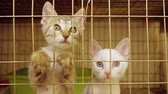 felino : Kittens act attentive Inside animal shelter cage waiting for adoption. Stock Footage