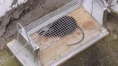 лапы : Caged Black Rat Trying to Find Exit From Trap Стоковые видеозаписи