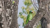 ladrão : Two Wild yellow cheek parrots on top of the bark of a dead Fresno tree. In Central Mexico. Stock Footage