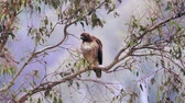 olhos castanhos : Red Tailed Hawk In Tree Branch