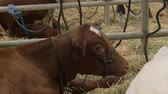 animais : Brown Cow Muching Hay in Barn Stock Footage