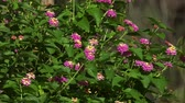 Lantana Flower Verbena Struik Close Up 4k