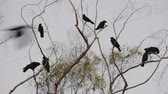 Crows Making Noise On Top Of Tree