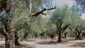 plantation : Olive tree grove of the Zakynthos island, Greece.