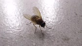 Macro shot of domestic fly moving swiftly Stock Footage