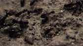 организованный : Close up of ants running and moving in various directions
