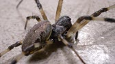bruto : Close up of a creepy spider moving slowly