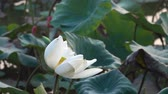 waterlily : White lotus flower. Royalty high quality free stock footage of a white lotus flower. The background is the lotus leaf and white lotus flower and yellow lotus bud in a pond Stock Footage