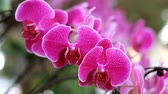 orkideler : Beautiful pink orchid flower (Phalaenopsis). Royalty free stock photo in no time. Close up of multi-colored tropical orchid flower in garden