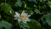 bloom : The white Lotus Flower. Stock Footage
