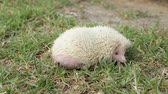 szár : Albino hedgehog pooping to the grass.