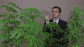 birtok : Businessman with Cannabis plants checking Marijuana product. Stock mozgókép